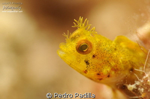 Roughhead Blenny, Dicen....El individuo con color amarill... by Pedro Padilla 